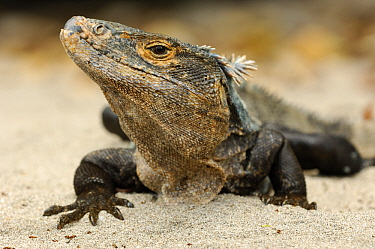 Black Spiny-tailed Iguana (Ctenosaura similis), Manuel Antonio National Park, Costa Rica  -  Martin van Lokven