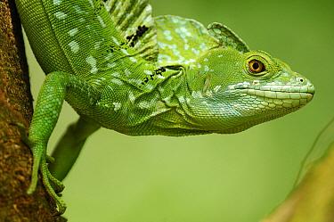 Green Basilisk (Basiliscus plumifrons) male, Selva Verde, Costa Rica  -  Martin van Lokven