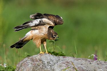 Montagu's Harrier (Circus pygargus) juvenile cleaning its feathers, Biebzra, Poland  -  Adri Hoogendijk/ Buiten-beeld