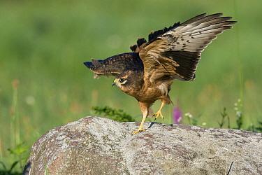 Montagu's Harrier (Circus pygargus) juvenile landing, Biebzra, Poland  -  Adri Hoogendijk/ Buiten-beeld