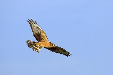 Montagu's Harrier (Circus pygargus) juvenile flying, Biebzra, Poland  -  Adri Hoogendijk/ Buiten-beeld