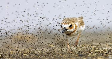 Wilson's Plover (Charadrius wilsonia) hunting for sandflies, Curacao, Dutch Antilles  -  Jasper Doest