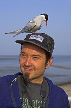 Arctic Tern (Sterna paradisaea) on the cap of a bird watcher, Germany  -  Winfried Wisniewski