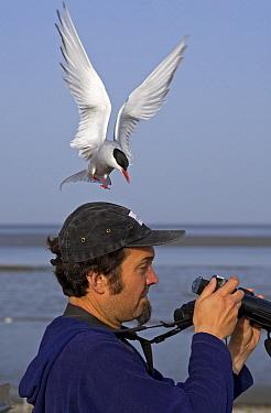 Arctic Tern (Sterna paradisaea) flying over the head of a bird watcher, Germany  -  Winfried Wisniewski