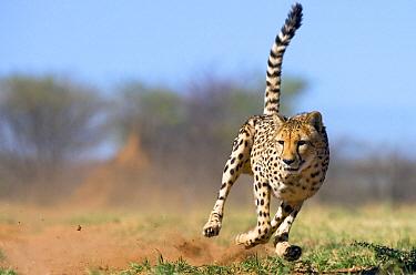 Cheetah (Acinonyx jubatus) running, Namibia  -  Stephen Belcher
