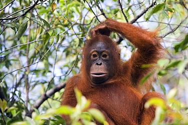 Orangutan (Pongo pygmaeus) juvenile scratching its head, Tanjung Puting National Park, Borneo, Malaysia, Indonesia  -  Stephen Belcher