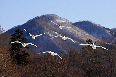 Whooper Swan (Cygnus cygnus) group flying, Lake Kussharo-ko, Hokkaido, Japan  -  Stephen Belcher