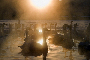 Whooper Swan (Cygnus cygnus) flock swimming on lake with steam, Lake Kussharo-ko, Hokkaido, Japan  -  Stephen Belcher