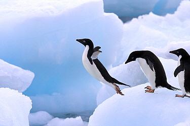 Adelie Penguin (Pygoscelis adeliae) jumping from iceberg, Antarctic Peninsula, Antarctica  -  Stephen Belcher