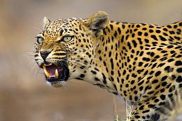 Leopard (Panthera pardus) snarling, Namibia  -  Stephen Belcher
