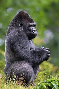 Western Lowland Gorilla (Gorilla gorilla gorilla) silverback, Netherlands  -  Stephen Belcher