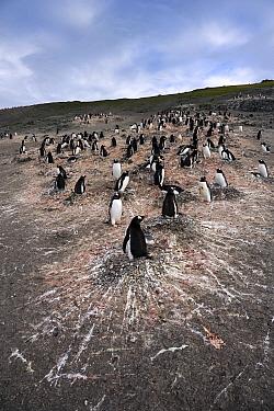 Gentoo Penguin (Pygoscelis papua) nesting colony, South Shetland Islands, Antarctica  -  Stephen Belcher