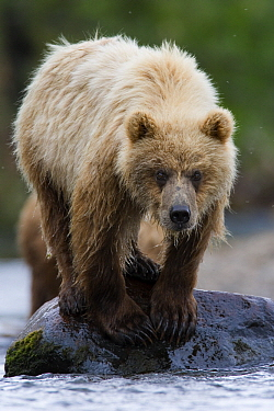 Brown Bear (Ursus arctos), Katmai National Park, Alaska  -  Stephen Belcher