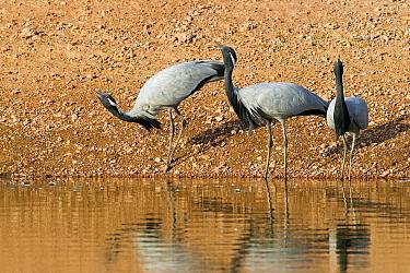 Demoiselle Crane (Anthropoides virgo) drinking, Thar Desert, Rajasthan, India  -  Winfried Wisniewski