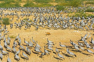 Demoiselle Crane (Anthropoides virgo) flock avoiding dog at village feeding grounds, Thar Desert, Rajasthan, India  -  Winfried Wisniewski