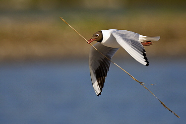 Black-headed Gull (Chroicocephalus ridibundus) flying with nest material, Texel, Netherlands  -  Willi Rolfes/ NIS