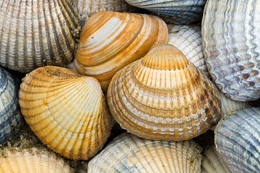 Common Cockle (Cerastoderma edule) shells, Texel, Netherlands  -  Willi Rolfes/ NIS