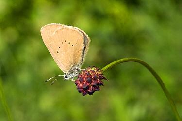 Dusky Large Blue Butterfly (Maculinea nausithous) on Great Burnet (Sanguisorba officinalis), Noord-Brabant, Netherlands  -  Rene Krekels/ NIS