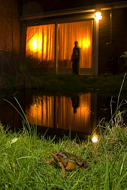 Common Frog (Rana temporaria) pair mating at garden pond, Malden, Gelderland, Netherlands  -  Rene Krekels/ NIS