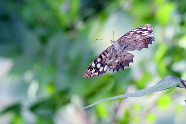 Speckled Wood (Pararge aegeria) butterfly flying, Limburg, Netherlands  -  Rene Krekels/ NIS