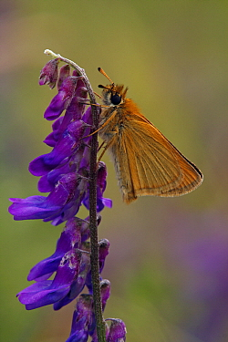 European Skipper (Thymelicus lineola) butterfly on Tufted Vetch (Vicia cracca), Hohe Tauern National Park, Austria  -  Silvia Reiche