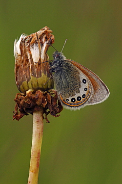 Alpine Heath (Coenonympha gardetta) on flower bud, Hohe Tauern National Park, Austria  -  Silvia Reiche