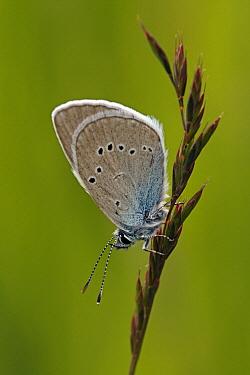 Mazarine Blue (Cyaniris semiargus) butterfly, Hohe Tauern National Park, Austria  -  Silvia Reiche