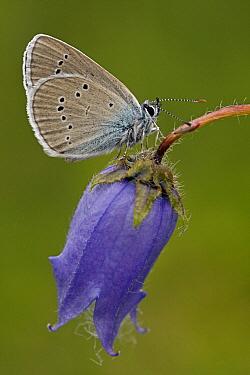 Mazarine Blue (Cyaniris semiargus) butterfly on English Bluebell (Hyacinthoides nonscripta), Hohe Tauern National Park, Austria  -  Silvia Reiche