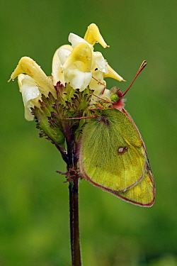Mountain Clouded Yellow (Colias phicomone) butterfly, Hohe Tauern National Park, Austria  -  Silvia Reiche