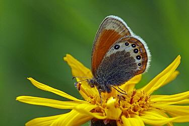 Alpine Heath (Coenonympha gardetta) butterfly, Hohe Tauern National Park, Austria  -  Silvia Reiche