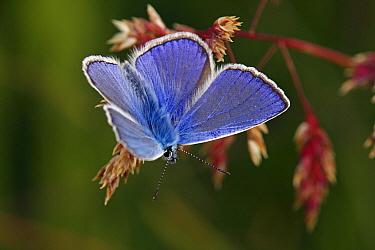 Common Blue (Polyommatus icarus) butterfly, Hohe Tauern National Park, Austria  -  Silvia Reiche