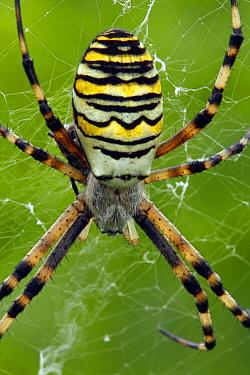 Wasp Spider (Argiope bruennichi) in web, Hoogeloon, Noord-Brabant, Netherlands  -  Silvia Reiche