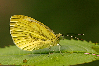 Green-veined White (Pieris napi) butterfly, Hoogeloon, Noord-Brabant, Netherlands  -  Silvia Reiche