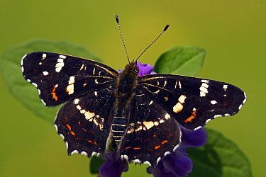Map Butterfly (Araschnia levana), Hoogeloon, Noord-Brabant, Netherlands  -  Silvia Reiche