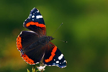 Red Admiral (Vanessa atalanta) butterfly, Hoogeloon, Noord-Brabant, Netherlands  -  Silvia Reiche