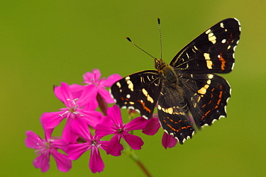 Map Butterfly (Araschnia levana) on pink flower, Hoogeloon, Noord-Brabant, Netherlands  -  Silvia Reiche