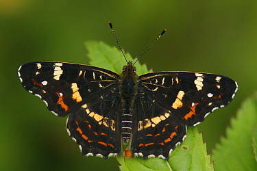 Map Butterfly (Araschnia levana) on leaf, Hoogeloon, Noord-Brabant, Netherlands  -  Silvia Reiche