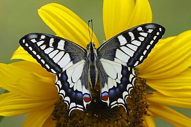Oldworld Swallowtail (Papilio machaon) butterfly on Common Sunflower (Helianthus annuus), Hoogeloon, Noord-Brabant, Netherlands  -  Silvia Reiche