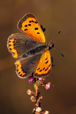 Small Copper (Lycaena phlaeas) butterfly on Heather (calluna vulgaris), Noord-Brabant, Netherlands  -  Silvia Reiche