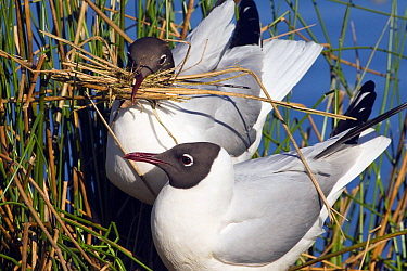Black-headed Gull (Chroicocephalus ridibundus) pair on nest, De Groote Peel National Park, Netherlands  -  Otto Plantema/ Buiten-beeld