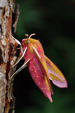 Elephant Hawk Moth (Deilephila elpenor) on Scotch Pine (Pinus sylvestris), Overijssel, Netherlands  -  Karin Rothman/ NiS