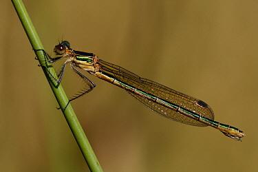 Emerald Damselfly (Lestes sponsa) female, Overijssel, Netherlands  -  Karin Rothman/ NiS