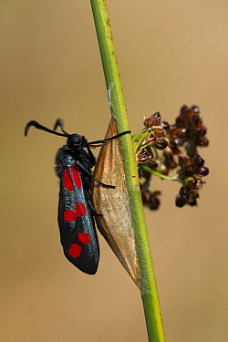Six-spot Burnet (Zygaena filipendulae) moth sitting on cocoon, Overijssel, Netherlands  -  Karin Rothman/ NiS