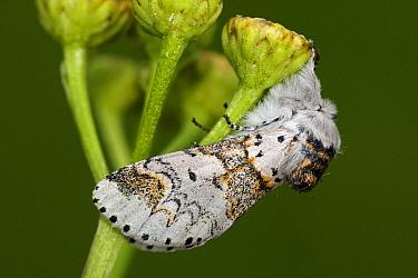 Sallow Kitten (Furcula furcula) moth on Curled Tansy (Tanacetum vulgare), Overijssel, Netherlands  -  Karin Rothman/ NiS