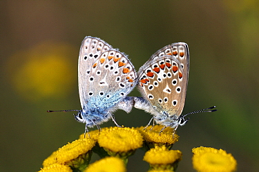 Common Blue (Polyommatus icarus) butterfly male and female mating on Curled Tansy (Tanacetum vulgare), Overijssel, Netherlands  -  Karin Rothman/ NiS