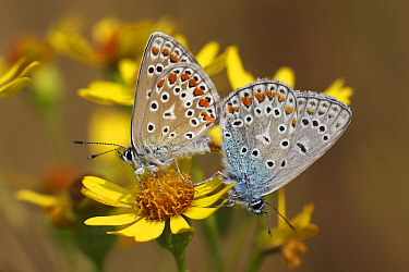 Common Blue (Polyommatus icarus) butterfly male and female mating on Stinking Willie (Senecio jacobaea), Overijssel, Netherlands  -  Karin Rothman/ NiS