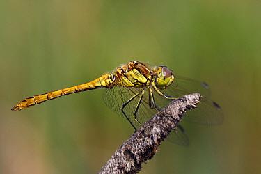 Vagrant Darter (Sympetrum vulgatum) dragonfly, Overijssel, Netherlands  -  Karin Rothman/ NiS