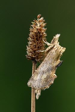 Pale Prominent (Pterostoma palpina) moth on English Plantain (Plantago lanceolata), Vriezenveen, Overijssel, Netherlands  -  Karin Rothman/ NiS