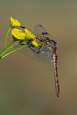 Vagrant Darter (Sympetrum vulgatum) female on Curled Tansy (Tanacetum vulgare) covered in dewdrops, Overijssel, Netherlands  -  Karin Rothman/ NiS
