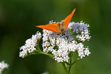 Large Copper (Lycaena dispar) butterfly on Dwarf Elderberry (Sambucus ebulus), Vajta, Hungary  -  Joke Stuurman/ NiS
